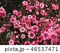 ギョリュウバイ 桃色 花の写真 46537471