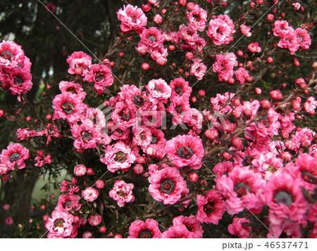 桃色色の可愛い花はギョリュウバイ 46537471