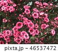 ギョリュウバイ 桃色 花の写真 46537472