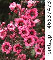 ギョリュウバイ 桃色 花の写真 46537473