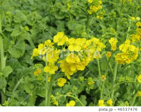 12月に咲き始めた早咲きナバナ 46537476