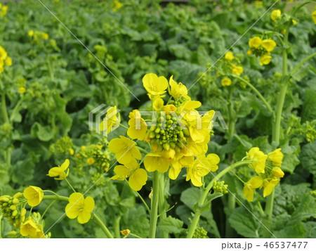 12月に咲き始めた早咲きナバナ 46537477