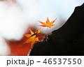 紅葉 葉っぱ 楓の写真 46537550
