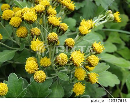 黄色い花は海岸の花イソギク 46537618