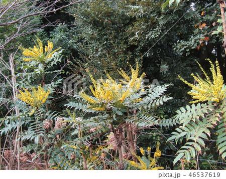 細葉ヒイラギナンテンとも言うマホニアの黄色い花 46537619