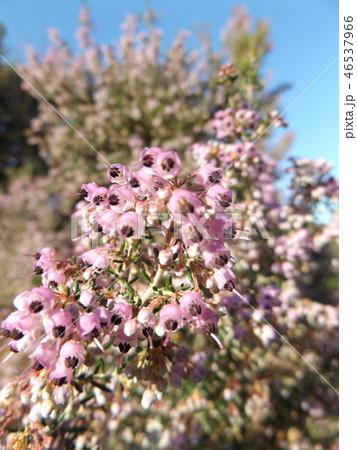 可愛い小さい桃色の花エリカ 46537966