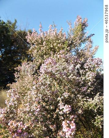 可愛い小さい桃色の花エリカ 46537968