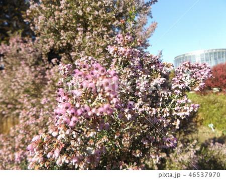 可愛い小さい桃色の花エリカ 46537970