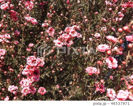 桃色の可愛い花はギョリュウバイ 46537971
