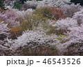 植物 花 桜の写真 46543526