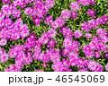 花畑 ピンク 花の写真 46545069
