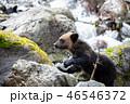 ヒグマ 熊 子熊の写真 46546372