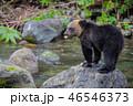 ヒグマ 熊 子熊の写真 46546373