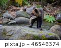 ヒグマ 熊 子熊の写真 46546374