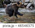 ヒグマ 熊 子熊の写真 46546375