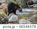 ヒグマ 熊 子熊の写真 46546376