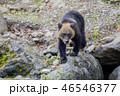 ヒグマ 熊 子熊の写真 46546377