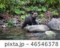 ヒグマ 熊 子熊の写真 46546378