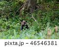 ヒグマ 熊 子熊の写真 46546381