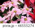 ピンクのポインセチアの花 46555274