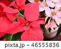 赤色ポインセチアの花 46555836