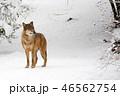 おおかみ オオカミ 狼の写真 46562754