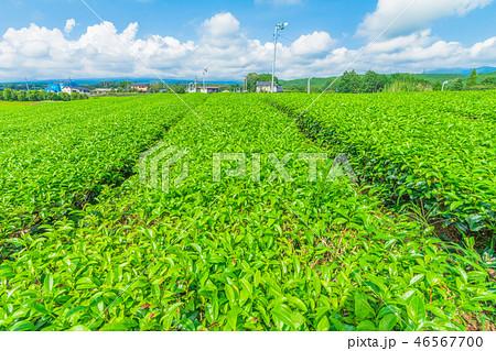 Fresh green tea farm in spring  46567700