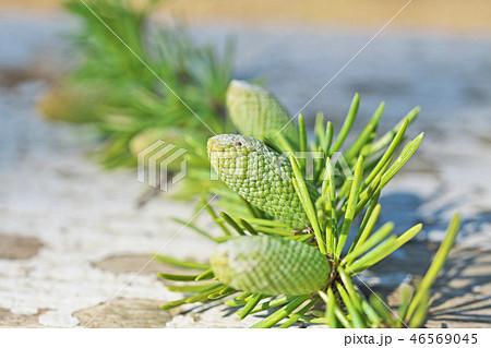 ヒマラヤスギの花 46569045