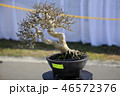 盆栽 樹木 樹の写真 46572376