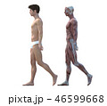 筋肉 解剖 人体のイラスト 46599668