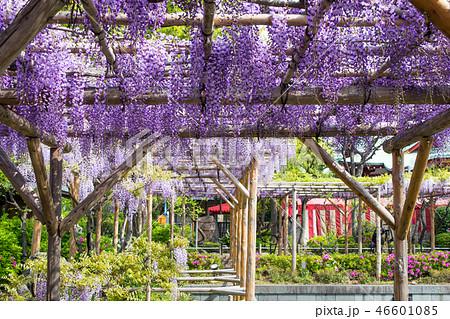 東京都 江東区亀戸 亀戸天神社(かめいどてんじんしゃ) 藤棚の風景 46601085
