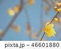 宝登山のロウバイ(埼玉県長瀞町) 46601880