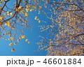宝登山のロウバイ(埼玉県長瀞町) 46601884
