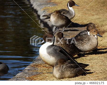 今年も来ました冬の渡り鳥オナガガモ 46602175