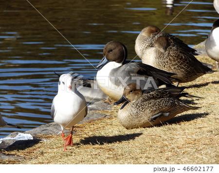 今年も来ました冬の渡り鳥オナガガモとユリカモメ 46602177