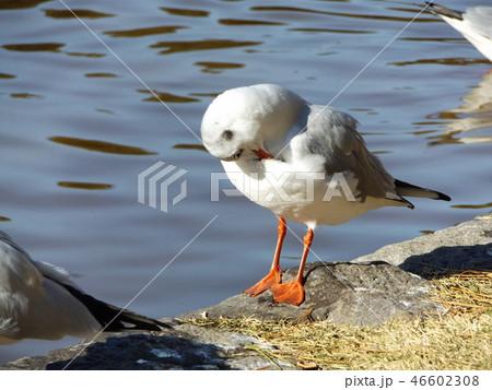 稲毛海浜公園の池の袂で毛繕いをするユリカモメ 46602308