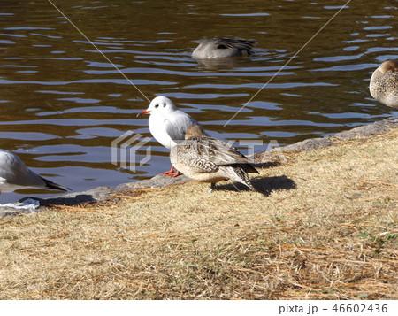 今年も来ました冬の渡り鳥オナガガモとユリカモメ 46602436