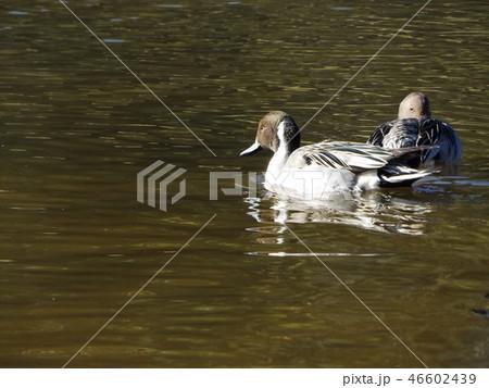 海浜公園の池を泳ぐ渡り鳥オナガがモ 46602439