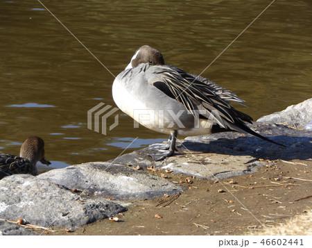 海浜公園の池の袂で日向ぼっこをするオナガガモ 46602441
