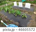 畑 緑 緑色の写真 46605572