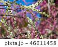 梅の花 46611458