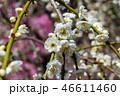 梅の花 46611460
