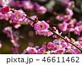 梅の花 46611462