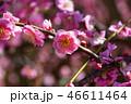 梅の花 46611464