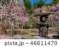 梅の花 46611470