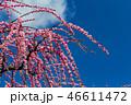 梅の花 46611472