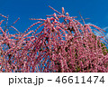 梅の花 46611474