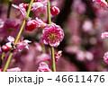 梅の花 46611476