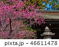 梅の花 46611478