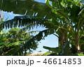 島バナナの木 46614853